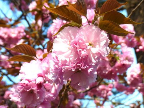 140413-202桜(S)