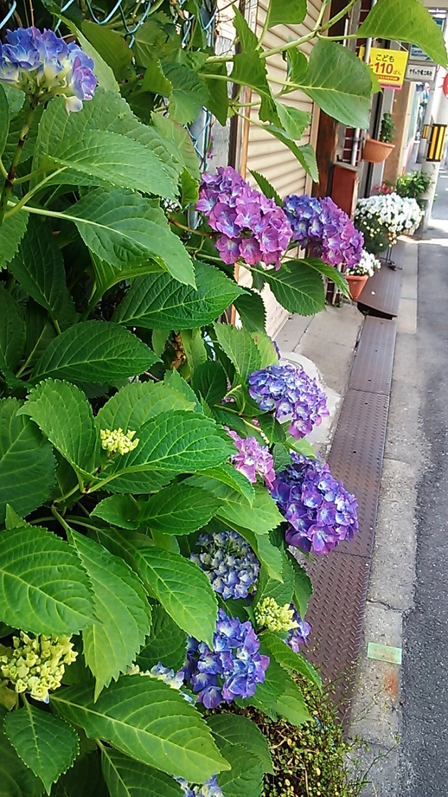 140604紫陽花 (2)