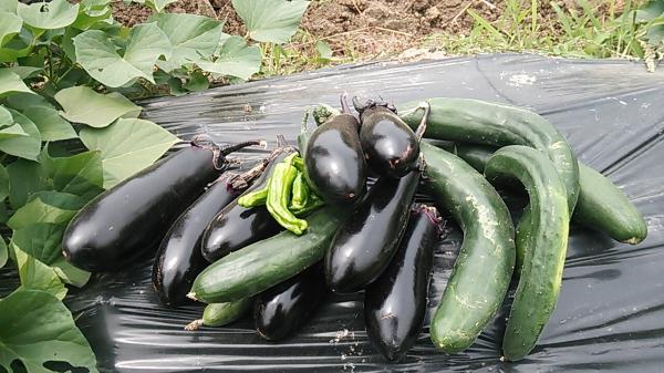 6月21日収穫物_convert_20140622021906