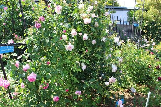 見ごろの薔薇3
