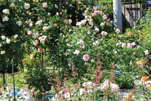 見ごろの薔薇1