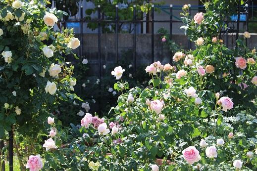 見ごろの薔薇2