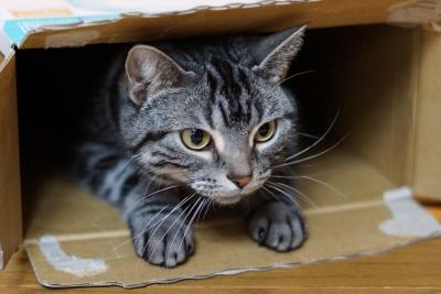 段ボール箱 閉じこもる ネコ