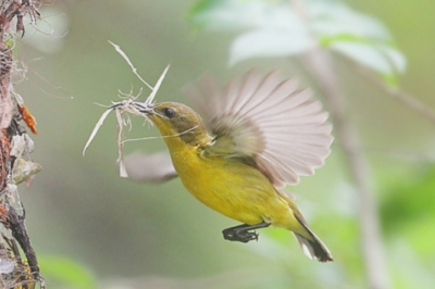 巣作り 鳥