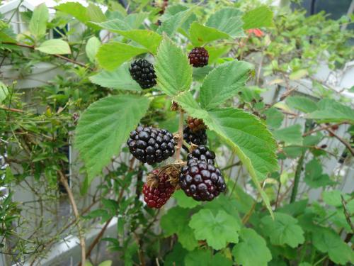 blackberry-minottekimashita.jpg