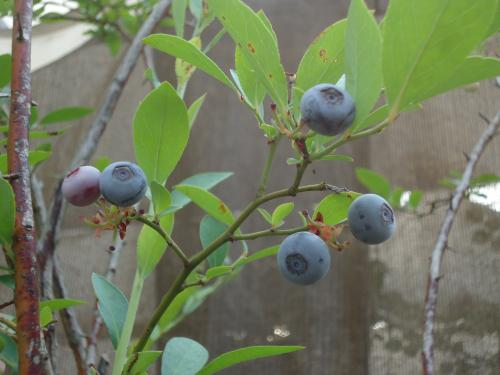 blueberry-minottayo.jpg