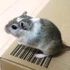 モコ(メスのスナネズミ)の写真