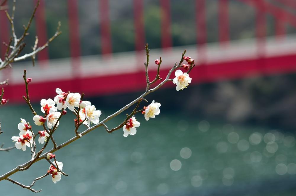 _月ヶ瀬梅林・菜の花DSC_4480