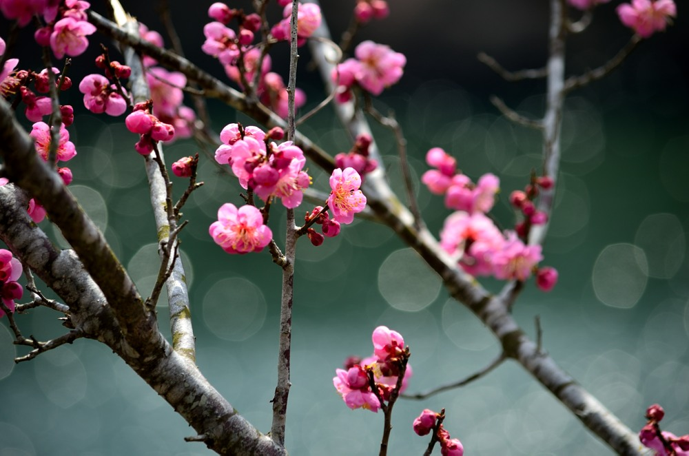 _月ヶ瀬梅林・菜の花DSC_4499