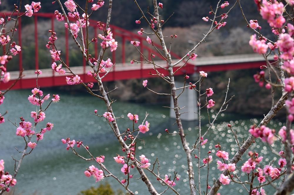 _月ヶ瀬梅林・菜の花DSC_4497