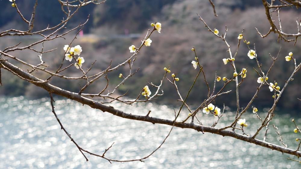 _月ヶ瀬梅林・菜の花DSC_4444