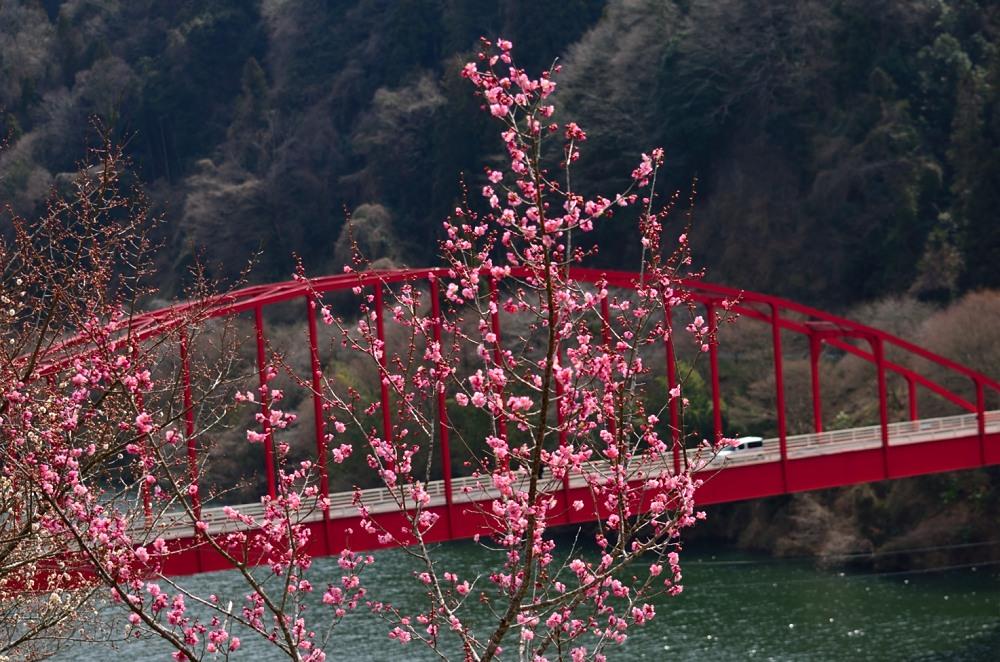 _月ヶ瀬梅林・菜の花DSC_4489
