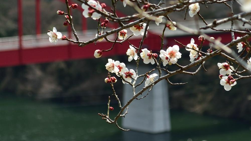 _月ヶ瀬梅林・菜の花DSC_4513