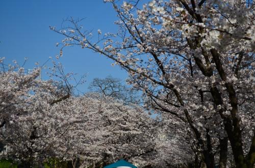_毛馬桜之宮公園DSC_5342