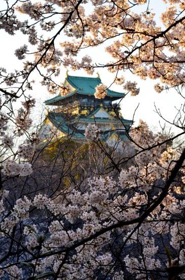 _大阪城桜DSC_5518