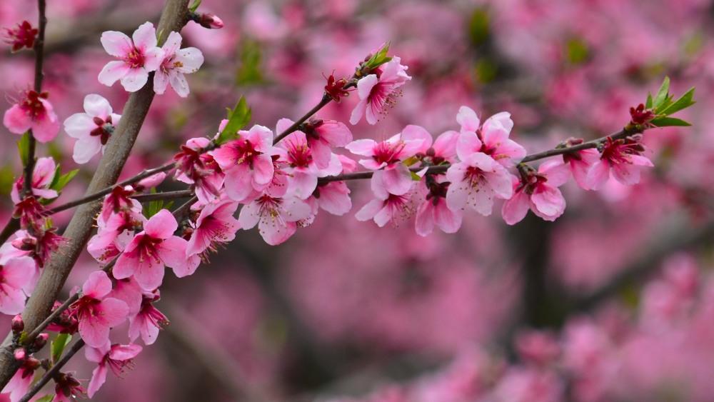 _桃の花DSC_5582