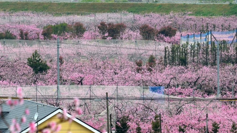 _桃の花DSC_5581
