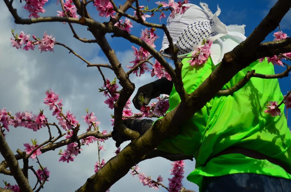 _桃の花DSC_5870