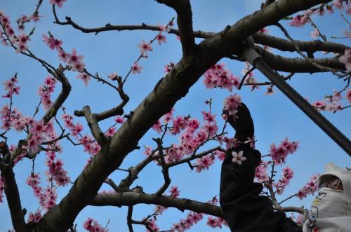 _桃の花DSC_5878