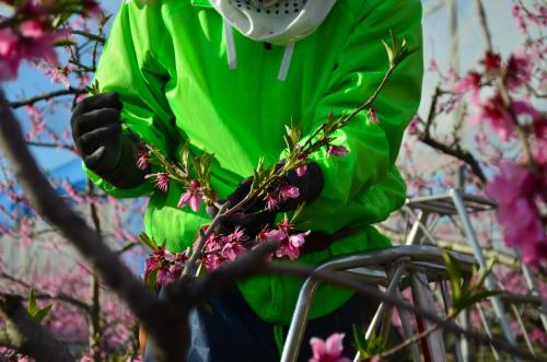 _桃の花DSC_5865