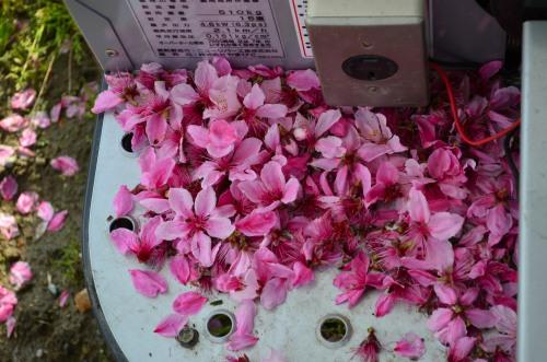 _桃の花DSC_5858