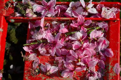 _桃の花DSC_5861