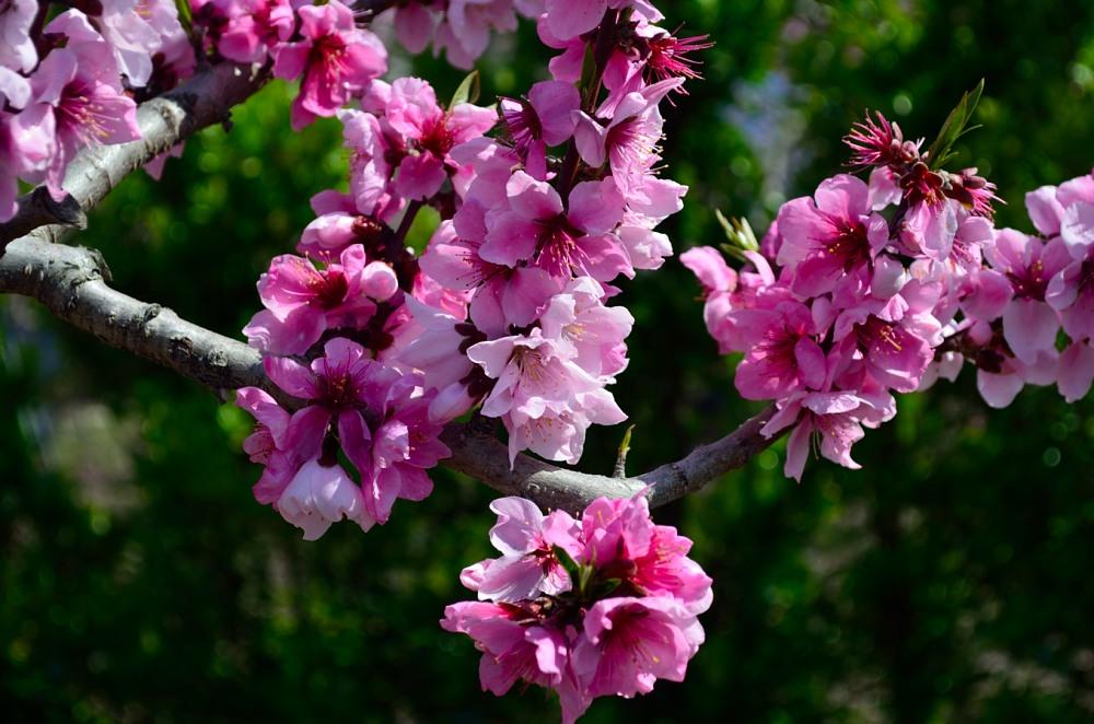 _桃の花DSC_5774