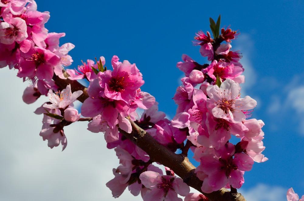 _桃の花DSC_5772