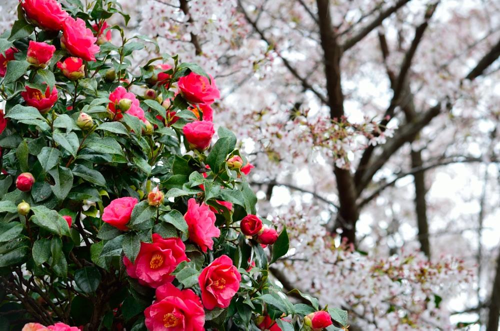 _桃の花DSC_5728
