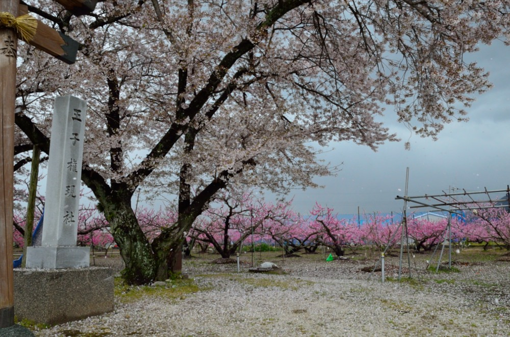 _桃の花DSC_5707