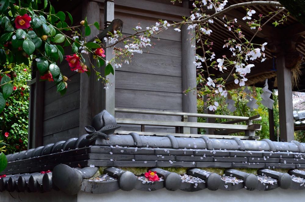 _桃の花DSC_5684