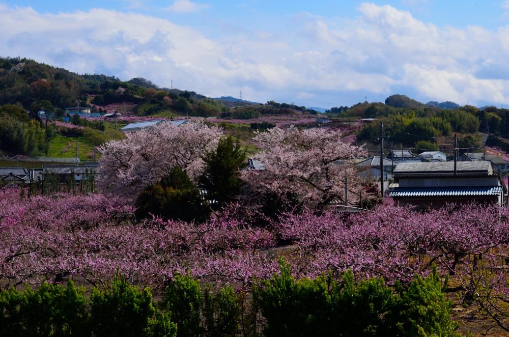 _桃の花DSC_5742