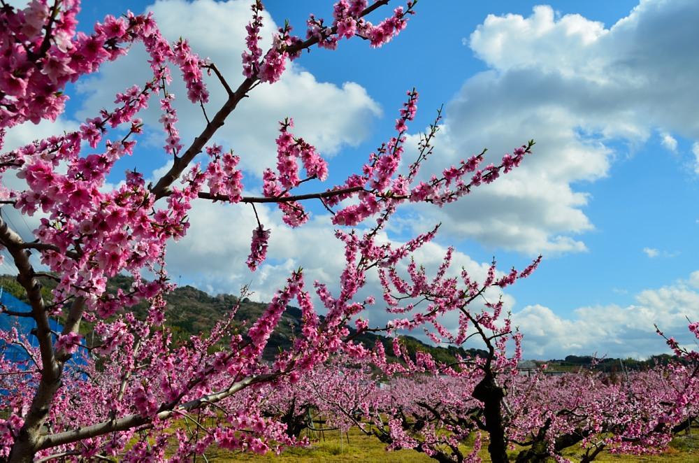 _桃の花DSC_5786