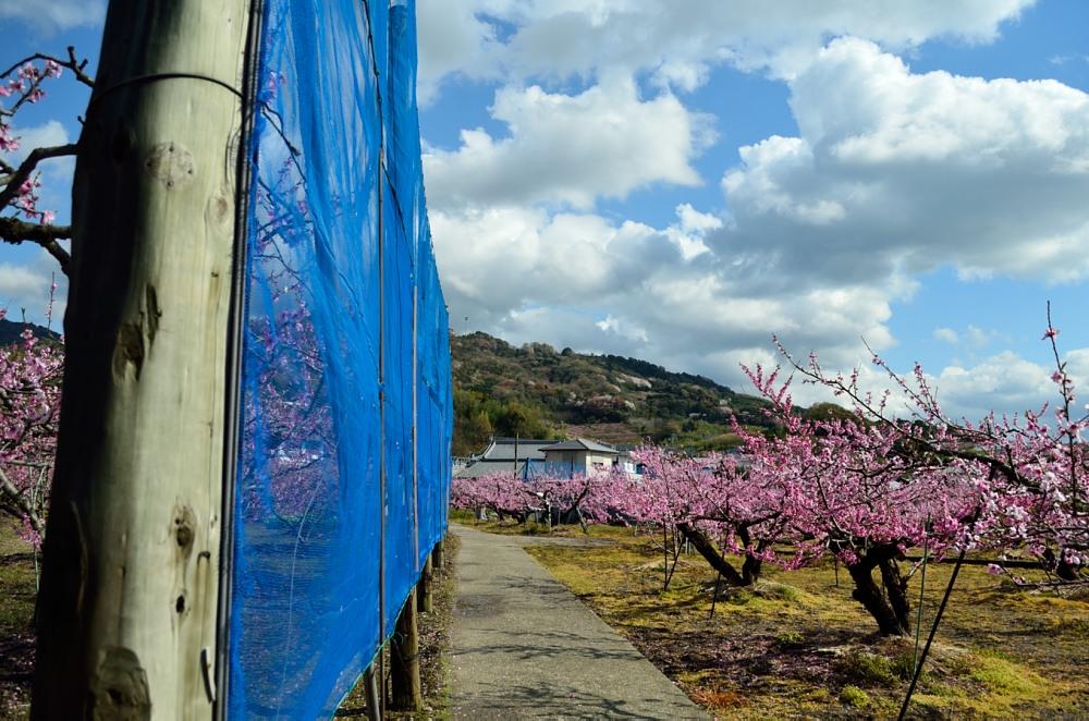 _桃の花DSC_5802