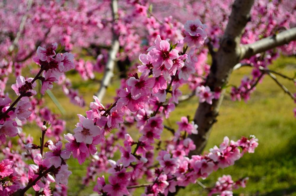 _桃の花DSC_5784