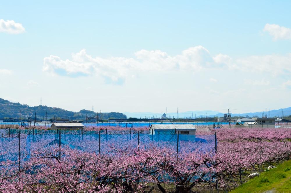 _桃の花DSC_5748