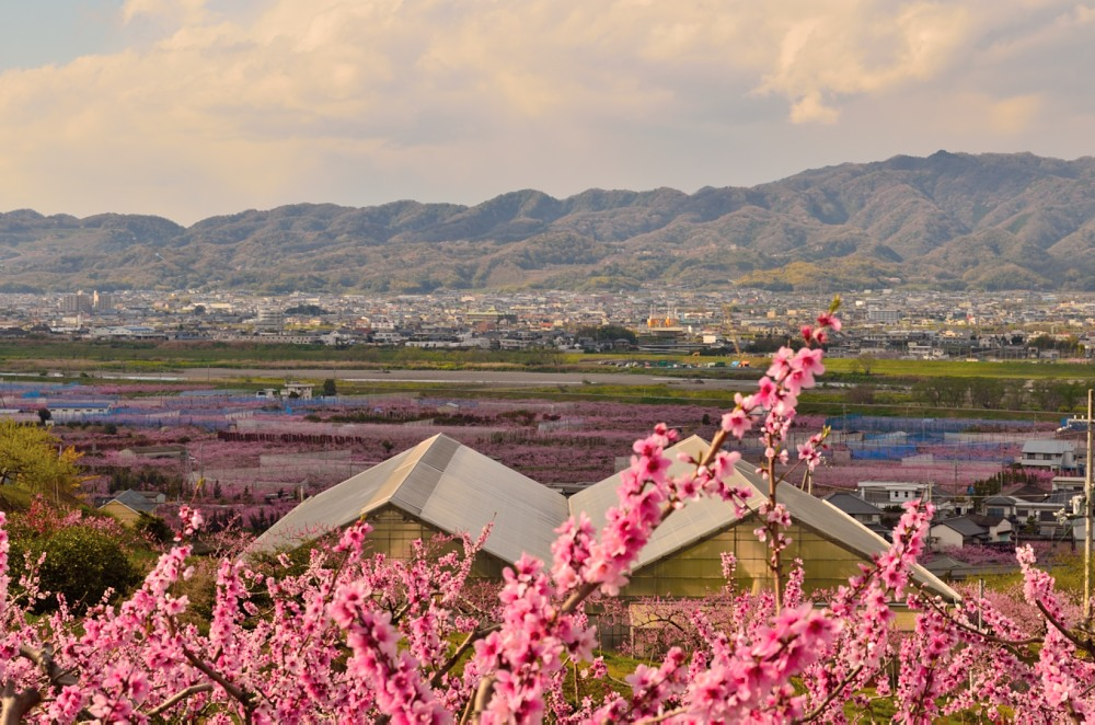 _桃の花DSC_5814