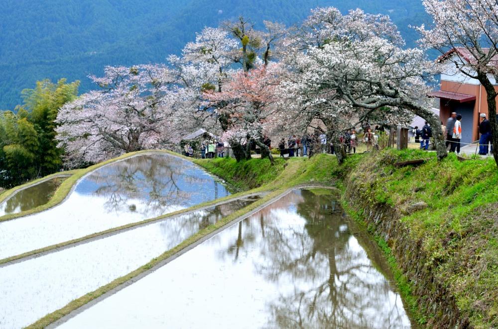 _三多気の桜DSC_5975