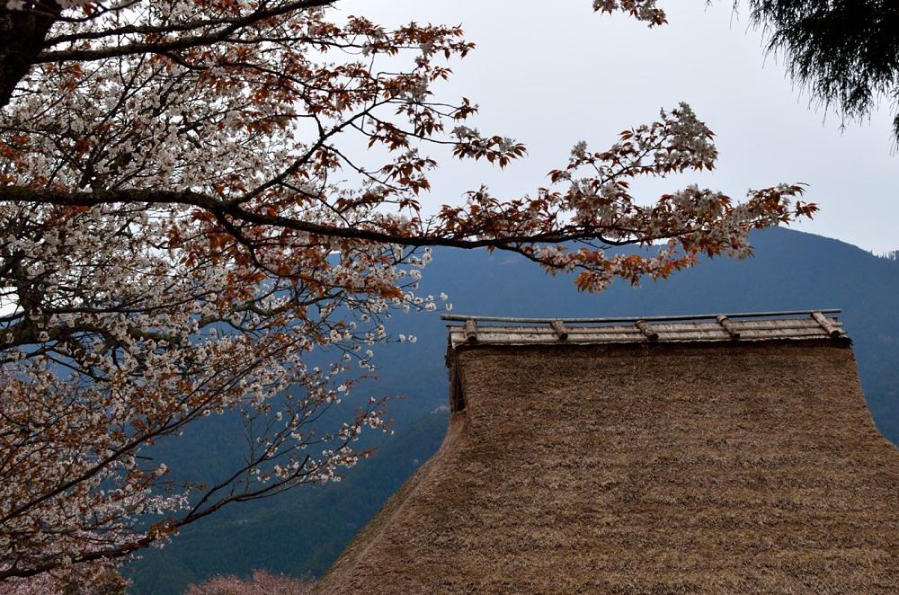 _三多気の桜DSC_5951