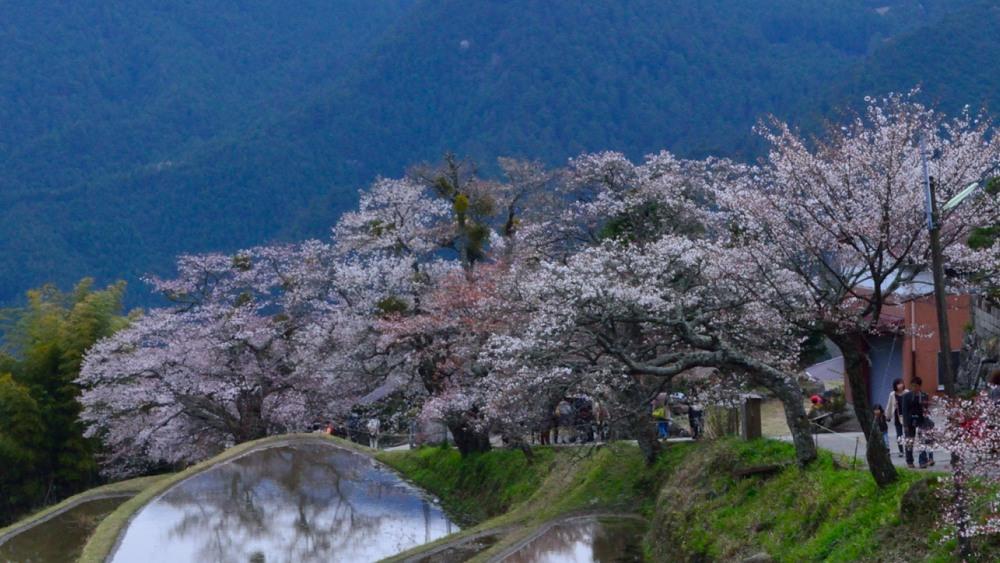 _三多気の桜DSC_6007
