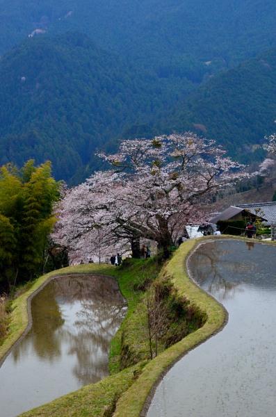 _三多気の桜DSC_5991