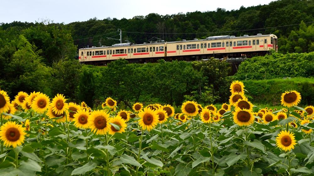 _列車とひまわり8DSC_0809
