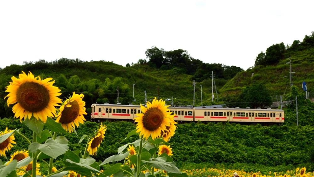 _列車とひまわり9DSC_0840