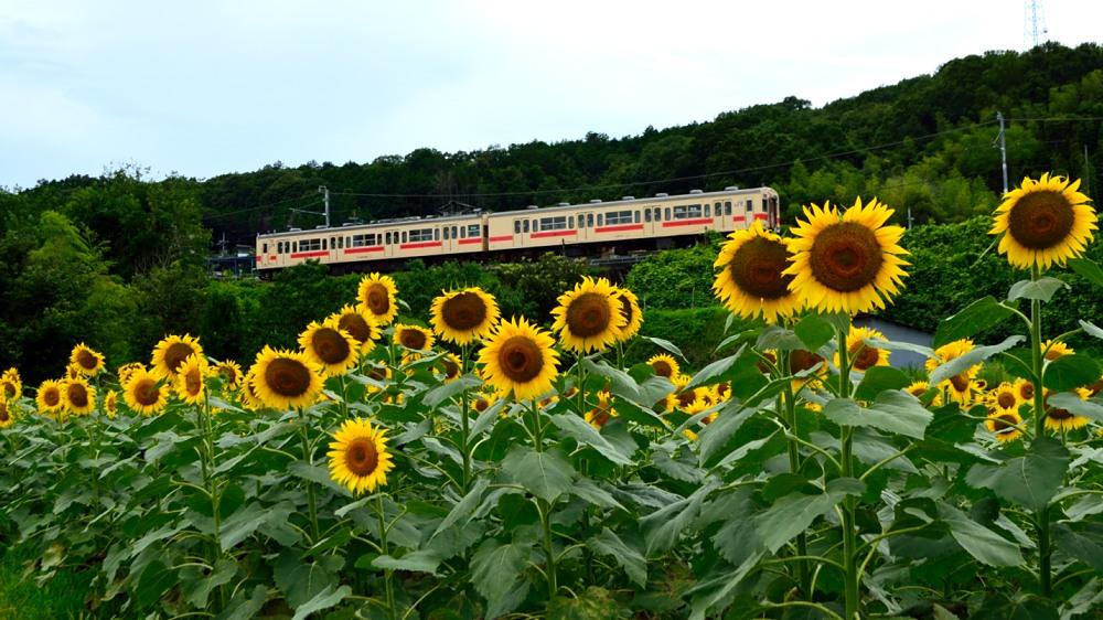 _列車とひまわり9DSC_0825