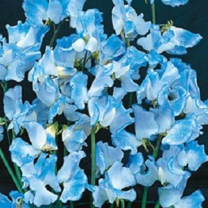 sweetpee blue lipple