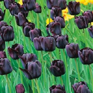tulip paul