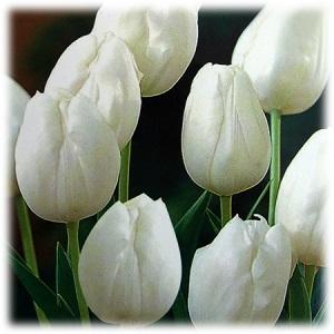tulip pays