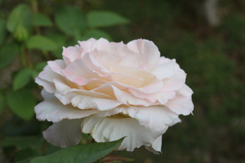 Mr.Rose