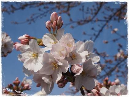 2014 桜-1