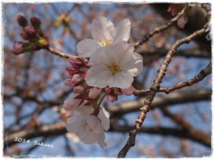 2014 桜⑤